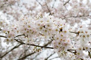 桜の素材 [FYI00259911]