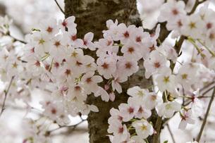 桜の素材 [FYI00259912]