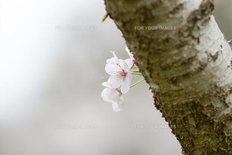 古木の桜の素材 [FYI00259913]