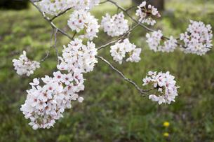 桜の素材 [FYI00259916]