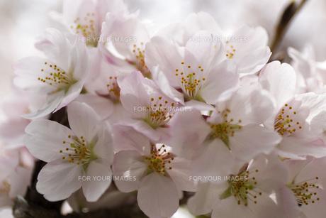 桜の素材 [FYI00259917]
