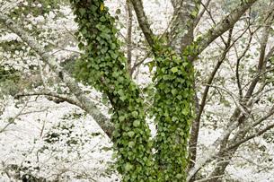 桜の木とツタの素材 [FYI00259918]