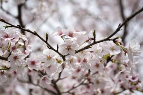 桜の素材 [FYI00259919]