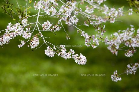 桜の素材 [FYI00259923]