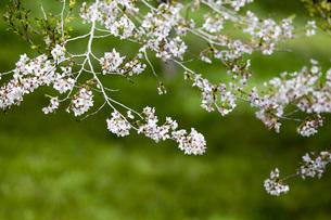 桜の写真素材 [FYI00259923]