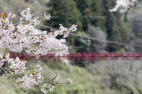 桜と吊り橋の素材 [FYI00259924]