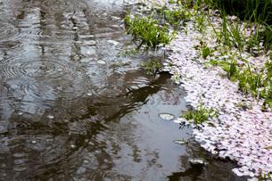 春の雨の素材 [FYI00259925]