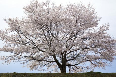 一本の桜の素材 [FYI00259927]