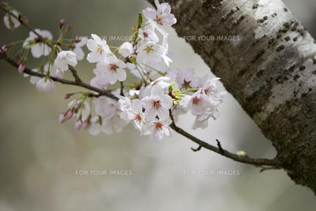 古木の桜の素材 [FYI00259928]