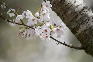 古木の桜の写真素材 [FYI00259928]