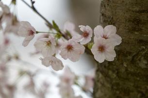 桜の木の素材 [FYI00259929]
