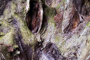 杉の老木の素材 [FYI00259932]