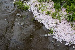 春の雨の素材 [FYI00259935]
