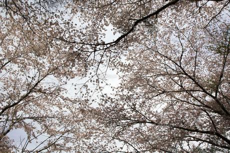 桜の木の素材 [FYI00259937]