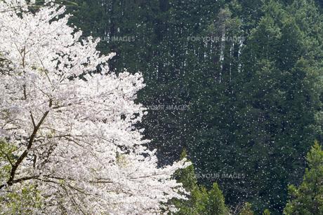 桜吹雪の素材 [FYI00259939]
