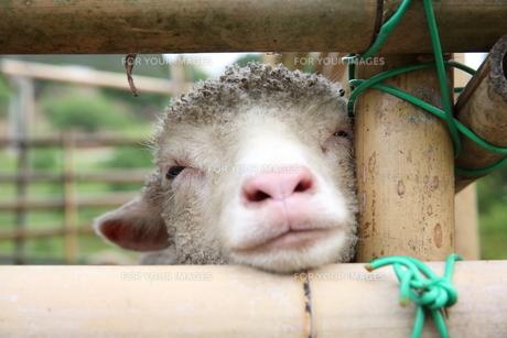 子羊の素材 [FYI00259941]