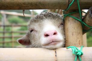 子羊の写真素材 [FYI00259941]