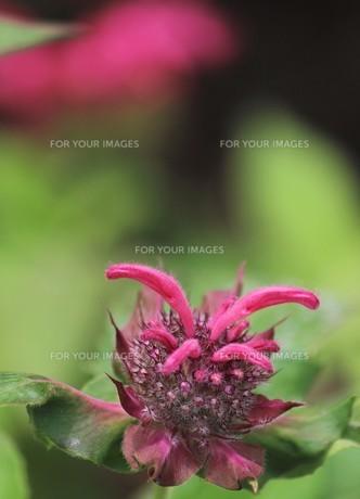 ピンク色の花の素材 [FYI00259973]