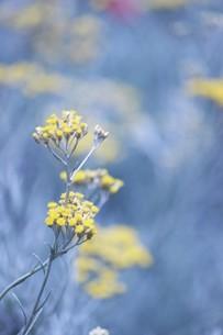 黄い花の素材 [FYI00259977]
