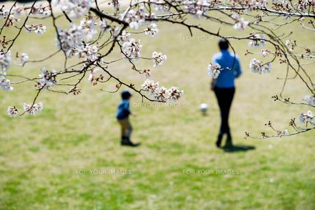 桜咲く公園で遊ぶ親子の写真素材 [FYI00260073]