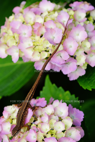 トカゲとアジサイの花の写真素材 [FYI00260210]
