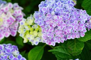 白縁のアジサイの花の素材 [FYI00260214]