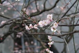 梅の花の写真素材 [FYI00260745]