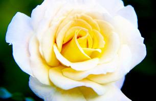 白い薔薇の写真素材 [FYI00260767]