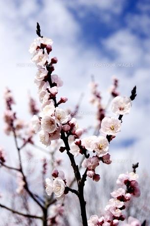 桜と青空の写真素材 [FYI00260768]