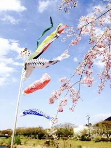 桜とこいのぼりの写真素材 [FYI00260771]