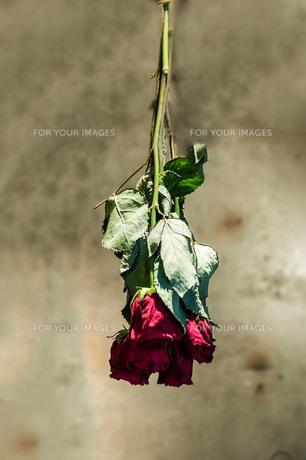薔薇のドライフラワーの写真素材 [FYI00260805]