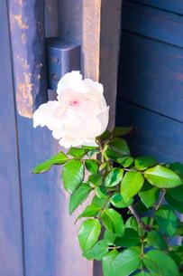 艶薔薇の写真素材 [FYI00260828]