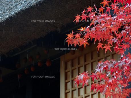 濡れる紅葉と干し柿の写真素材 [FYI00260954]