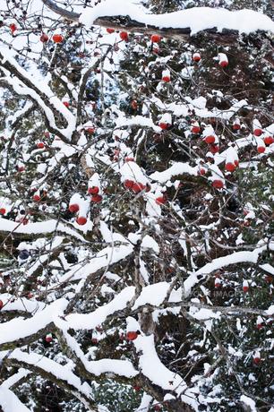 柿の木と雪の写真素材 [FYI00261078]