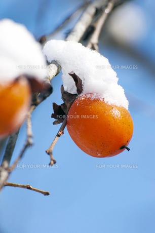 柿の木と雪の写真素材 [FYI00261081]