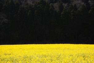 菜の花畑の写真素材 [FYI00261083]