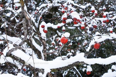 柿の木と雪の写真素材 [FYI00261087]