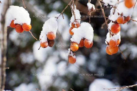 柿の木と雪の写真素材 [FYI00261103]