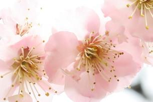 薄色の梅の花の写真素材 [FYI00261186]