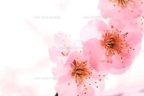 春色の梅の写真素材 [FYI00261188]