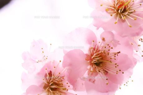 うす紫色の梅の写真素材 [FYI00261195]