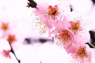 鮮やかな梅の写真素材 [FYI00261196]