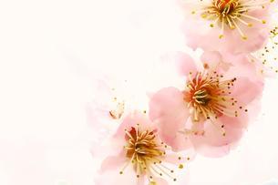 梅の華の写真素材 [FYI00261199]