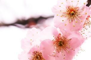 薄桃色の梅の写真素材 [FYI00261208]