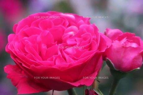 ルージュ・ド・ロンサール(赤いバラ)の写真素材 [FYI00261285]