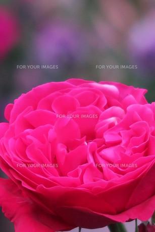 赤いバラ(ルージュ・ド・ロンサール)の写真素材 [FYI00261298]