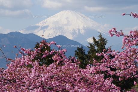富士山と河津桜の写真素材 [FYI00261301]