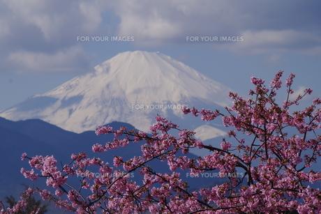 富士山と河津桜の写真素材 [FYI00261302]