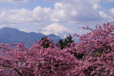 富士山と河津桜の写真素材 [FYI00261307]