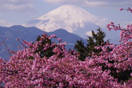 富士山と河津桜の写真素材 [FYI00261312]